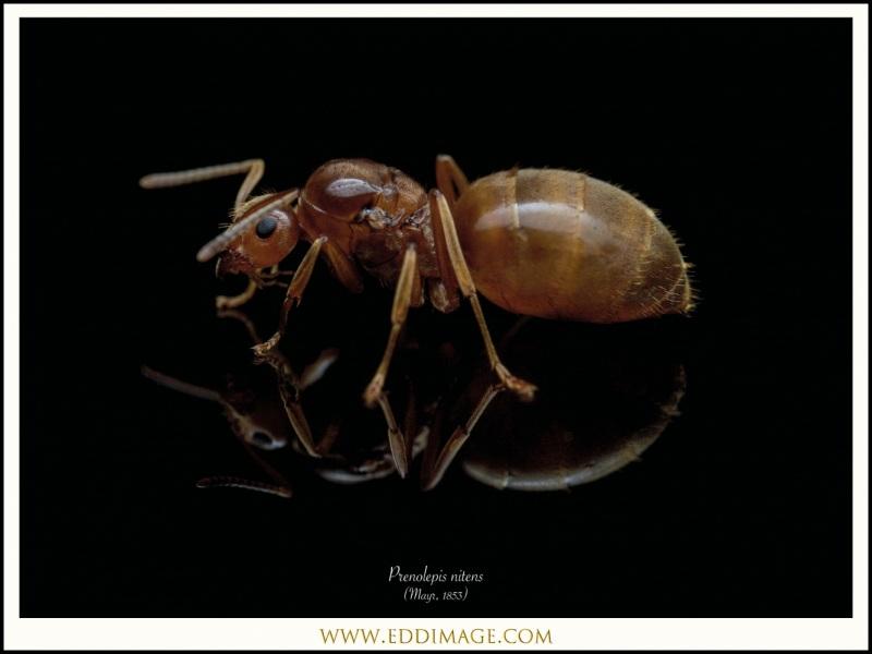 3_Prenolepis-nitens-queen-Mayr-1853