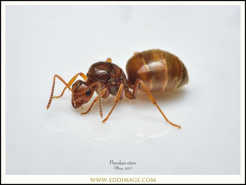 Prenolepis-nitens-queen-Mayr-1853