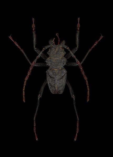 Prinocalus-cacicus-Peru-2