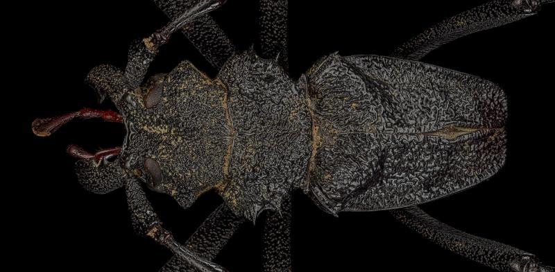 Prinocalus-cacicus-Peru