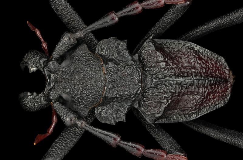 longhorn beetle [Prionocalus cacicus] - Peru-2