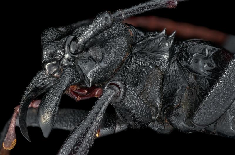 longhorn beetle [Prionocalus cacicus] - Peru-3