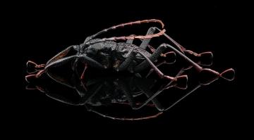 longhorn beetle [Prionocalus cacicus] - Peru-5