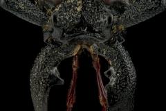 Prinocalus-cacicus-Peru-4