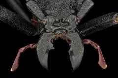 longhorn beetle [Prionocalus cacicus] - Peru