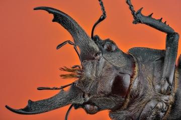 stag beetle-3