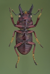 stag beetle [Prosopocoilus astacoides]-10