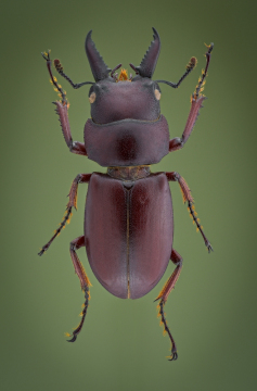 stag beetle [Prosopocoilus astacoides]-11