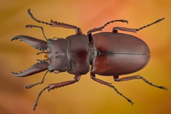 stag beetle [Prosopocoilus astacoides]-2