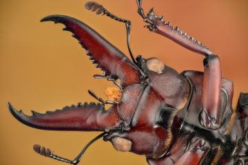stag beetle [Prosopocoilus astacoides]-4