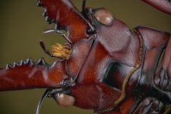 stag beetle [Prosopocoilus astacoides]-5