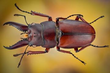 stag beetle [Prosopocoilus astacoides]-6