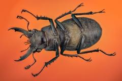 stag beetle-2