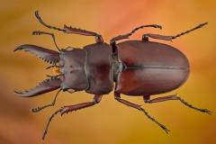 stag beetle [Prosopocoilus astacoides]-2