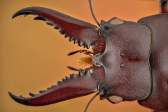 stag beetle [Prosopocoilus astacoides]