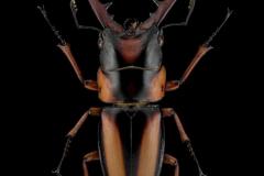 Prosopocoilus-savagei-Cameroon