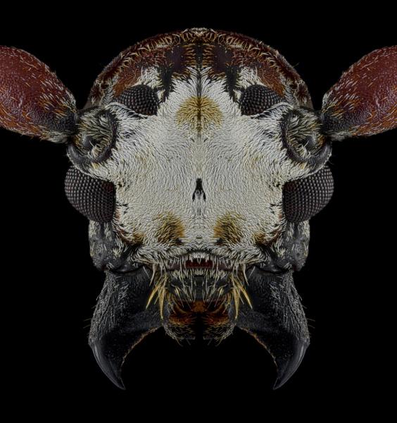 Protorhopala-sexnotata-Madagascar