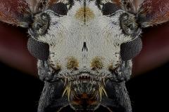 Protorhopala-sexnotata-Madagascar-2