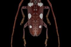 Protorhopala-sexnotata-Madagascar-3