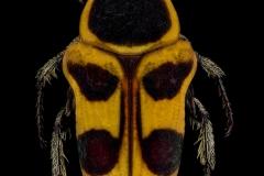 Pseudepixanthis-stella-Madagascar