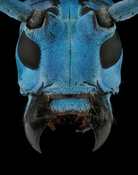 longhorn beetle [Pseudomyagrus waterhousei]-10