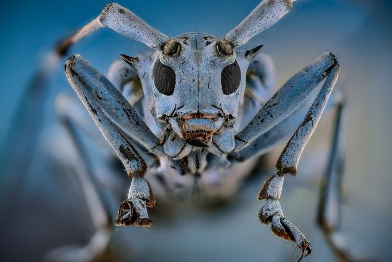 longhorn beetle [Pseudomyagrus waterhousei]-4