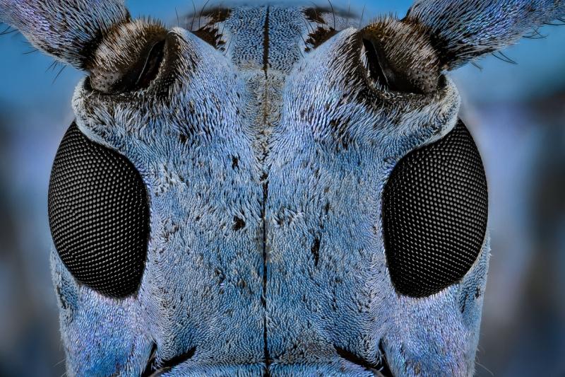 longhorn beetle [Pseudomyagrus waterhousei]-6