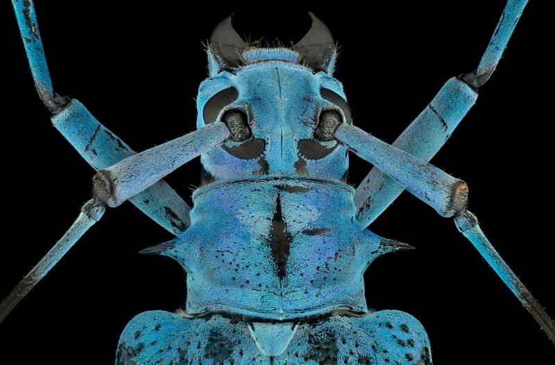 longhorn beetle [Pseudomyagrus waterhousei]-8