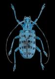 longhorn beetle [Pseudomyagrus waterhousei]-9