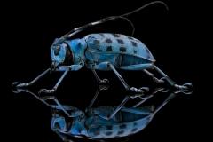 longhorn beetle [Pseudomyagrus waterhousei]-11
