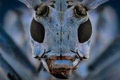 longhorn beetle [Pseudomyagrus waterhousei]-5