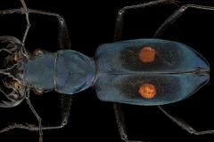 Pseudoxycheila-bipustulata-Tingo-Maria-Peru-2