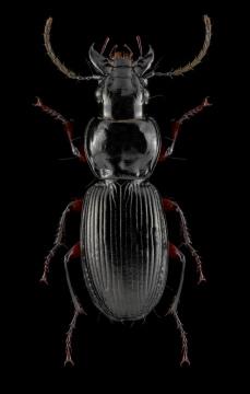rain-beetle-Pterostichus-madidus-var-concinnus-UK