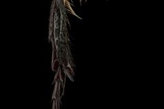 Pygora-albomaculata-Madagascar-2