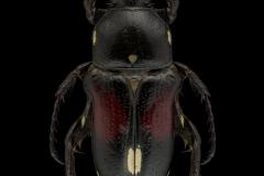 Pygora-albomaculata-Madagascar