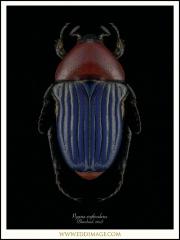 Pygora-erythroderes-Blanchard-1842