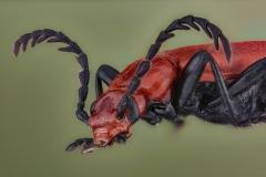 cardinal beetle [Pyrochroa serraticornis]