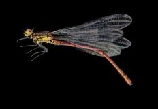 damselfly-Pyrrhosoma-nymphula-Romania-2