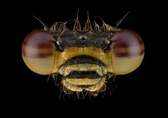 damselfly-Pyrrhosoma-nymphula-Romania-3