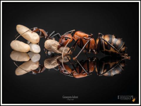 Camponotus-habereri-Forel-1911