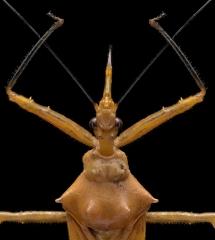 assassin-bug-Reduviidae-Madagascar-3