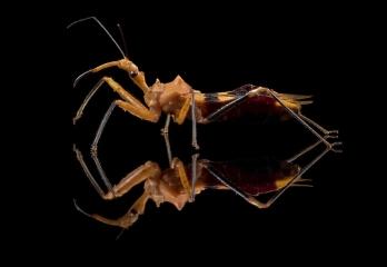 assassin-bug-Reduviidae-Madagascar-5