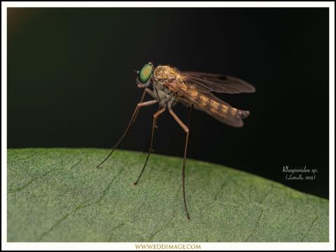 Rhagionidae-sp.-Latreille-1802
