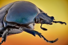 green-blue beetle [Rhomborrhina chatanayi]-3