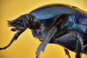 green-blue beetle [Rhomborrhina chatanayi] Thailand_-2