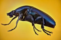 green-blue beetle [Rhomborrhina chatanayi] Thailand_