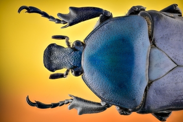 green-blue beetle [Rhomborrhina chatanayi]