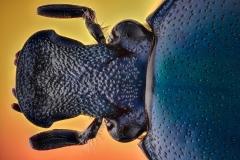 green-blue beetle [Rhomborrhina chatanayi]-2