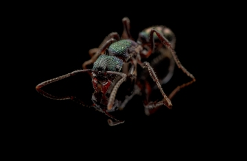 Rhytidoponera-metallica-Australia-3