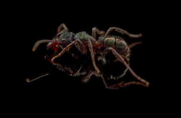 Rhytidoponera-metallica-Australia-4